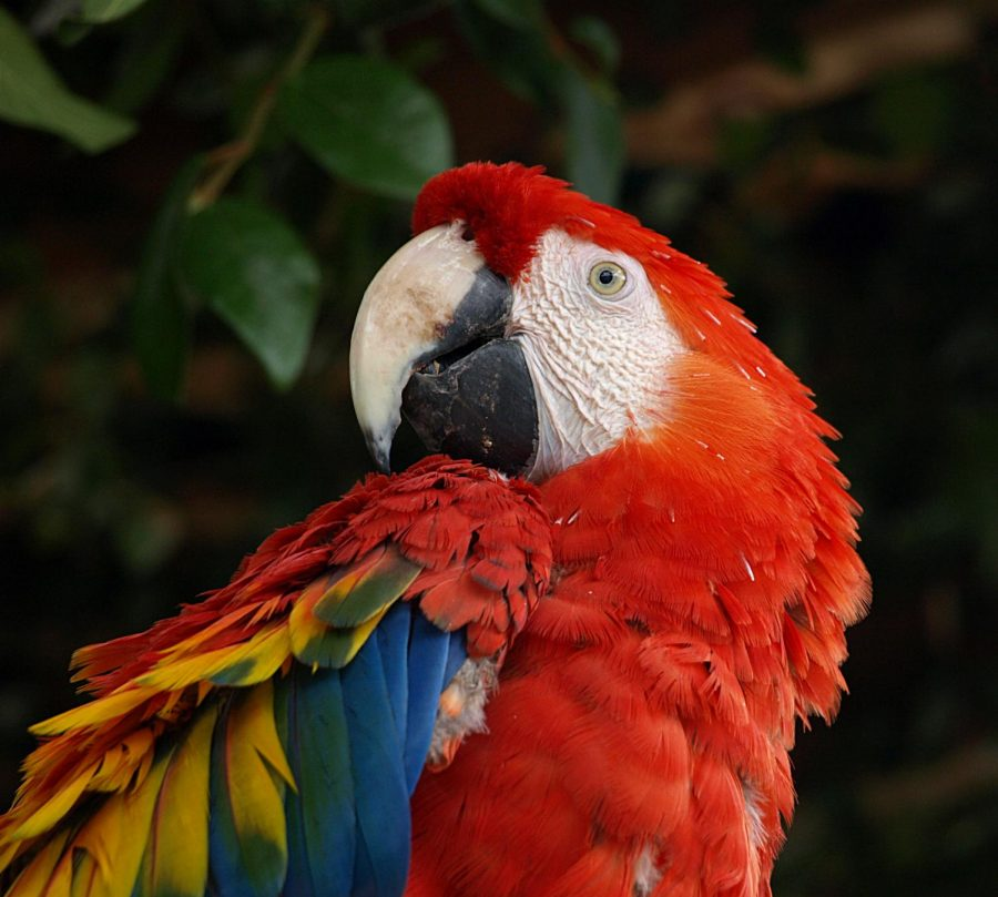 The scarlet macaw is one of several endangered macaw species, mostly due to poaching. https://commons.wikimedia.org/wiki/File:Scarlet-Macaw.jpg