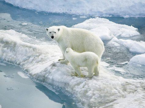 The Polar Bear Crisis