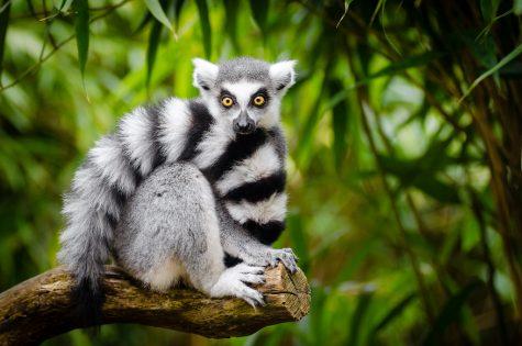 Madagascar Lemurs and the Pandemic