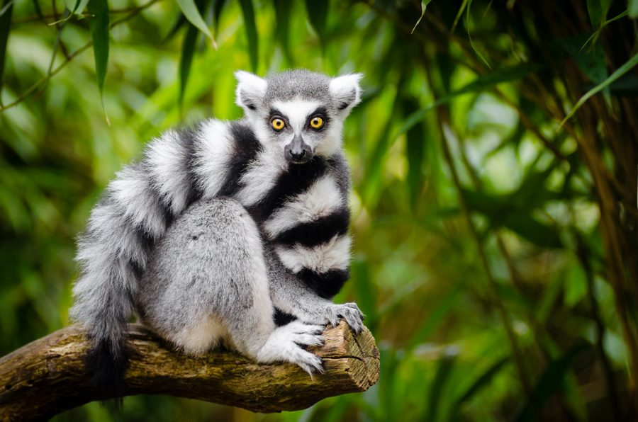 Madagascar Lemurs and the Pandemic